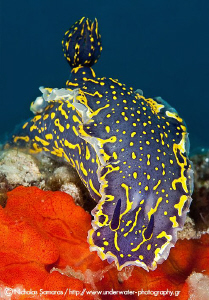 Hypsolodoris picta by Nicholas Samaras 